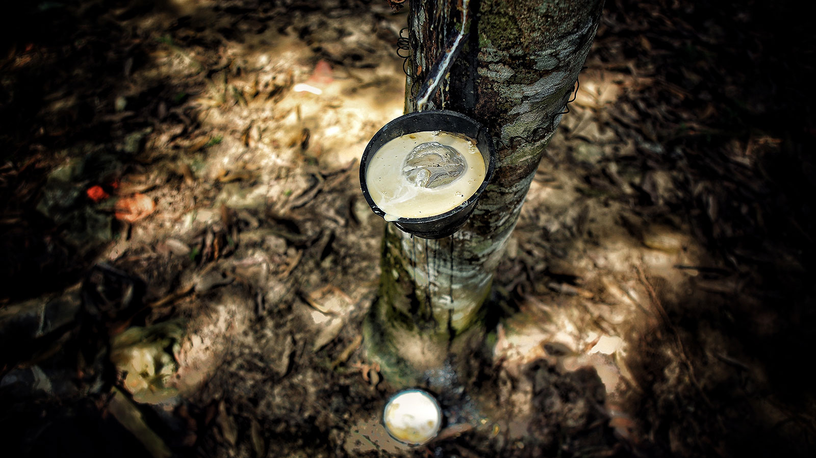 rubber cultivation in sri lanka