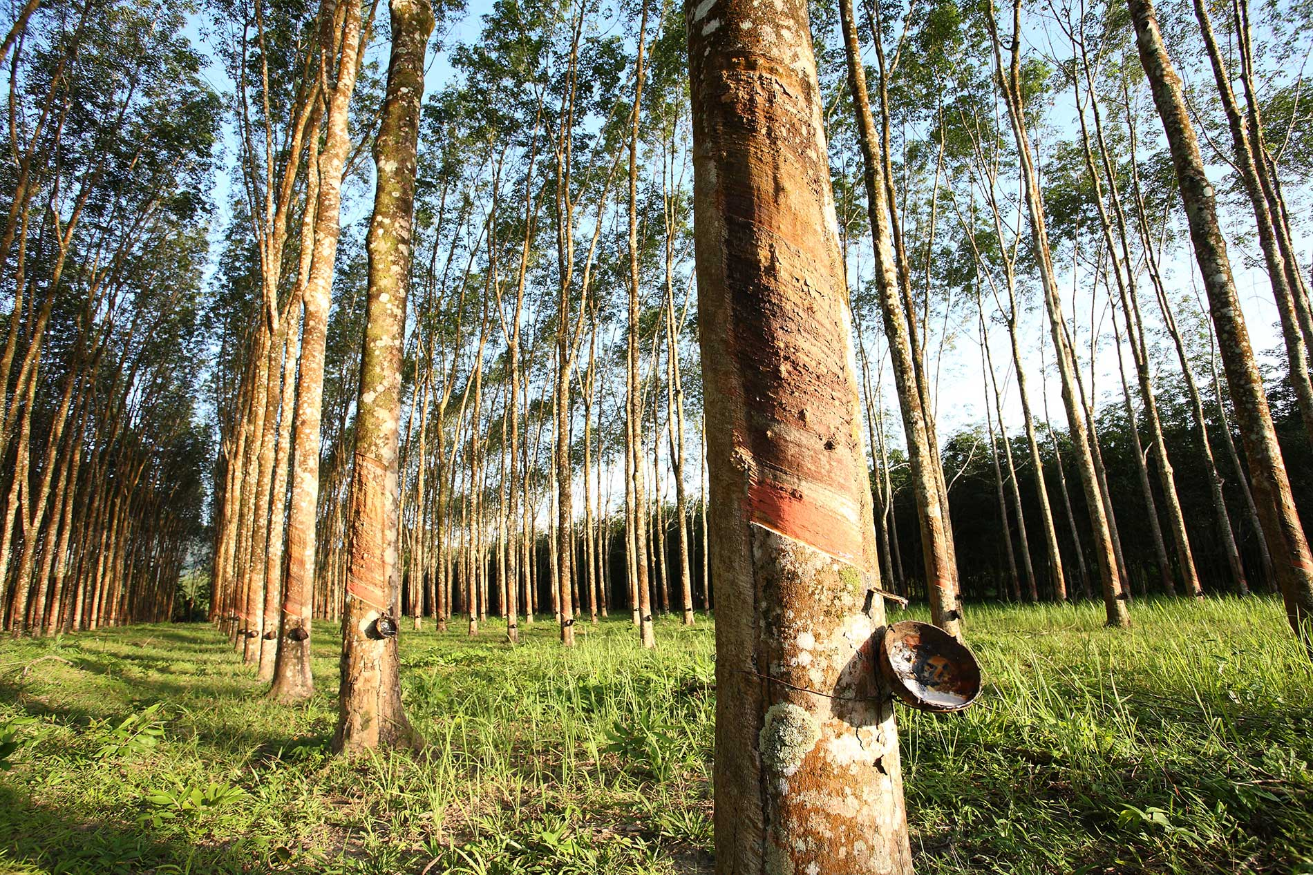 sri-lankan-rubber-trees-1.9k