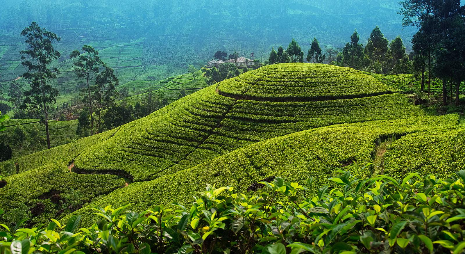 tea estates in sri lanka